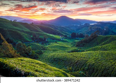 Sunrise over Sungai Palas tea plantation in Cameron Highlands, Pahang, Malaysia.
