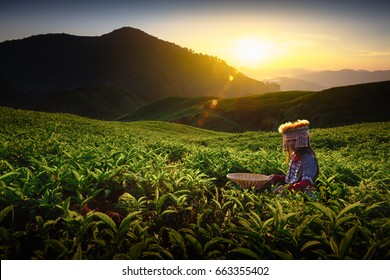 Sunrise over Sungai Palas tea plantation in Cameron Highlands with child girl tribal , Pahang, Malaysia