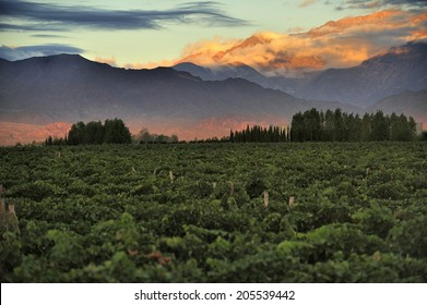 Sunrise over vineyard with snow capped mountains of Andes in Mendoza, the heart of wine making region in Argentina, famous for producing Malbec red wine