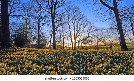 Sunrise over a woodland full of English Oak trees and wild daffodils, Narcissus pseudonarcissus, in spring near Dymock, The Royal Forest of Dean, Gloucestershire, UK