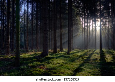Sunrise in a pine forest