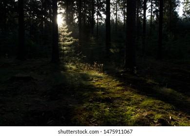 Sunrise in pine forest in Boswachterij Ruinen, the Netherlands