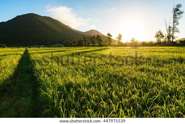Sunrise, rice fields, landscape. Okinawa, Japan, Asia.