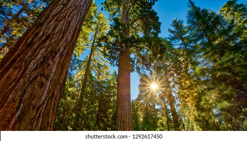 Sunrise in the Sequoias, General Grant Grove, Sequoia & Kings Canyon National Park