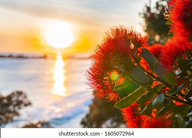 Sunrise shimmering over sea towards back-lit bright red pohutukawa flowers at Mount Maunganui New Zealand.