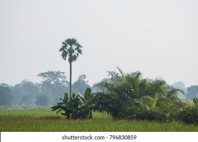 Sunrise showing native trees still surviving in high farming areas of Asia. Misty winter morning Asia.