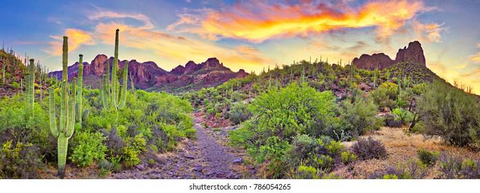 Sunrise in Sonoran Desert, with blooming Saguaros.