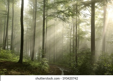Sunrise in the spring beech forest after rainfall.