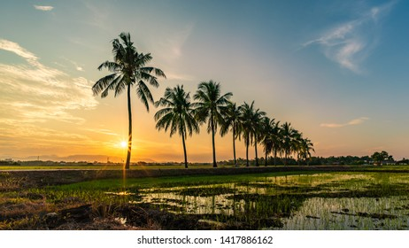 A sunrise and a starburst with blue sky overlooking a paddy (padi) field with a row of cocnut palm trees in a scenic village