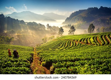 Sunrise at strawberry field at doi angkang , chiang mai , Thailand.