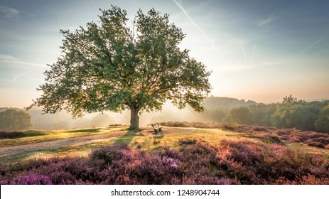 Sunrise with the sun shining behind a green tree in front of a blue sky on a hiking trail through the purple heath on Mookerheide, The Netherlands