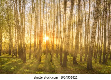 Sunrise or sunset in a spring birch grove with young green foliage and grass. Sun rays breaking through the birch trees.