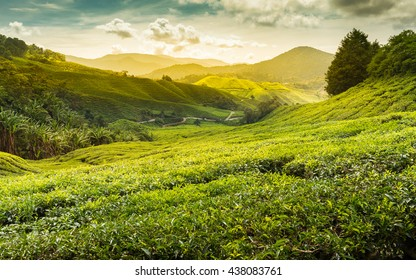 Sunrise of tea plantation in Cameron Highland, Malaysia.
