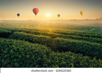 Sunrise tea plantations and colorful balloons floating in the beautiful sky, natural backgrounds.