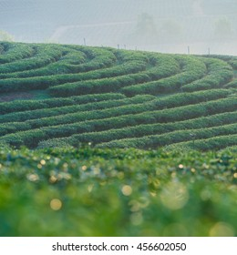 Sunrise view of tea plantation  chouifong  ,North of Thailand