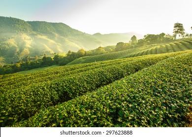 Sunrise view of tea plantation landscape at 101 Chiang Rai Tea, North of Thailand, Vibrant color &  Sun effect