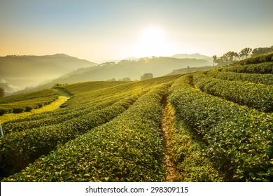 Sunrise view of tea plantation landscape at 101 Chiang Rai Tea,North of Thailand, Vibrant color &  Sun effect
