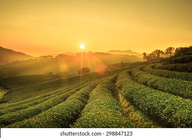 Sunrise view of tea plantation landscape at 101 Chiang Rai Tea, North of Thailand, Vibrant color &  Sun effect