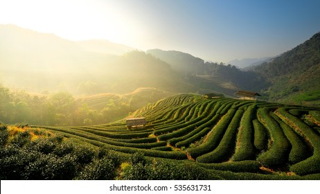 Sunrise view of tea plantation landscape , Tea plantations in morning light