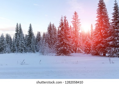 Sunrise in the winter spruce forest