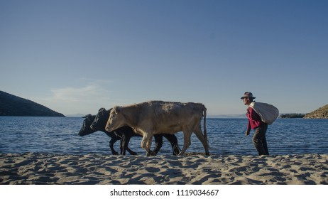<<sun's island, Titikaka lake, Bolivia>>; 06/14/2016: Bolivian man and three cows walkin by the beach of the sun's island at the titikaka lake>>.