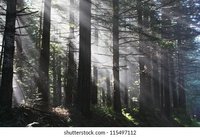 Suns rays filtering through trees in misty conditions