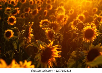 The sun's rays meet on a field of sunflowers