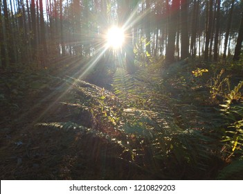 The sun's rays penetrate the square of the treetops and illuminate what grows in the forest.