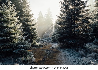 The sun's rays in the winter coniferous forest. The Harz National Park, Germany