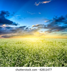 sunset above white flowers field
