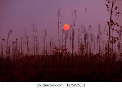 sunset against dry forest  season change ,earth warming concept