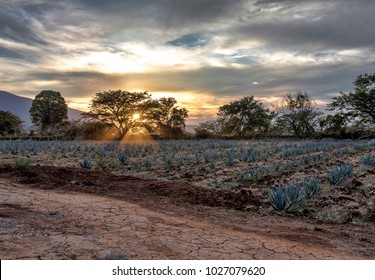 Sunset in the agave fields, the light of the sun through a tree, blue and golden colors.
