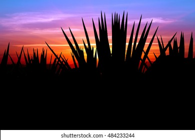 Sunset with Agave Tequila landscape, Mexico.