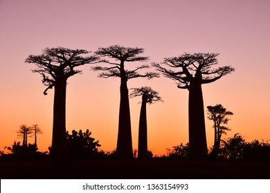 Sunset at alley of baobabs