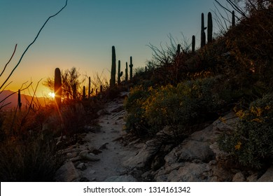 Sunset along the Pima Canyon Trail in the Sonoran Desert north of Tucson, Arizona in the Catalina Mountains. Yellow wildflowers, brittle bush, saguaro cactus and ocotillo dot the hillside. 2019.
