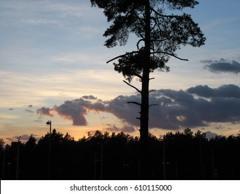 Sunset among the pines.