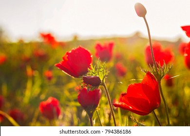 sunset at the background of blooming red Anemone Coronaria flowers field in Israel