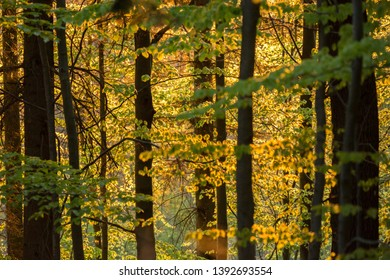 sunset in beech forest in summer