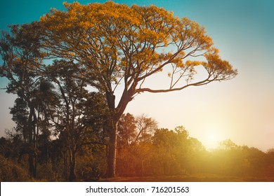 Sunset behind beautiful tree (Brazilian Ipe)