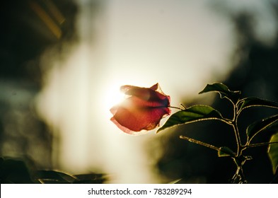 sunset behind a Bougainvillea.