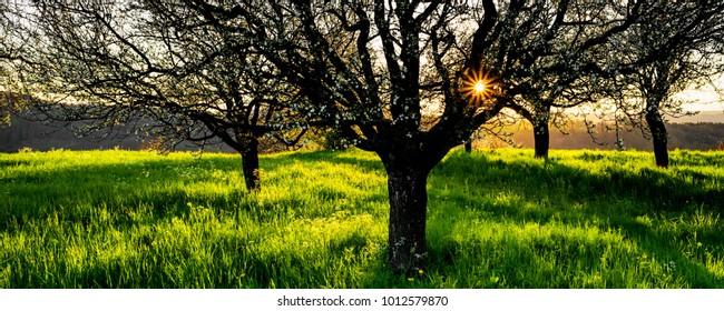 Sunset behind a grove of apple trees in early spring, Birmenstorf, Aargau, Switzerland.