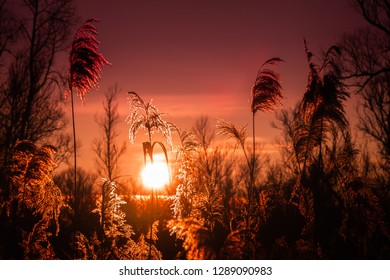 Sunset at the Biesbosch, Dordrecht. Reed at the golden hour in winter making fields of gold.