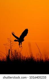 Sunset and bird of prey. Sunset nature background.