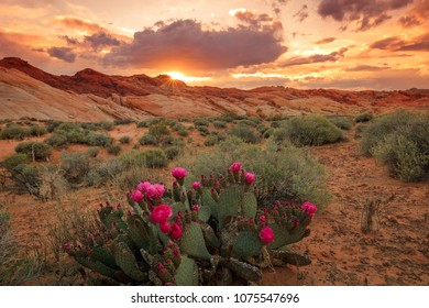 Sunset with cactus flowers in Valley of Fire, Nevada, USA.