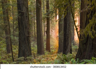 Sunset in a California redwood forest with mystical or religious overtones.