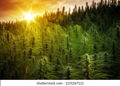 Sunset Cannabis Field. Marijuana Plants.