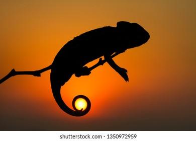 sunset and chameleon ..