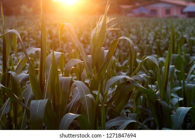 sunset with cornfield