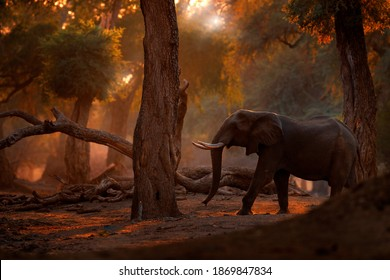 Sunset Elephant at Mana Pools NP, Zimbabwe in Africa. Big animal in the old forest, evening light, sun set. Magic wildlife scene in nature. African elephant in beautiful habitat. Art view in nature.