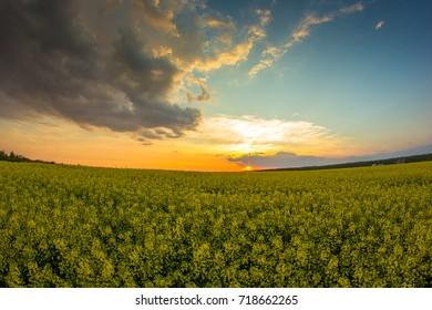 Sunset in flower field